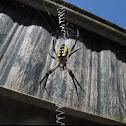 Writing Spider (Black and Yellow Argiope)