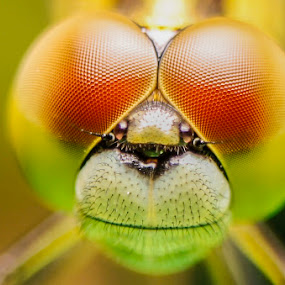 Anisogomphus maacki by Krizzel Almazora - Animals Insects & Spiders (  )
