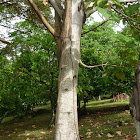 Balso Tree