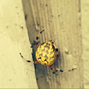 Marbled orb weaving spider