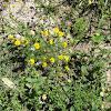 Bristle-Leaf Dyssodia