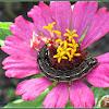 Cluster Caterpillar (Last instar)