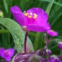 Pink Spiderwort
