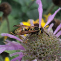 Western Paper Wasp