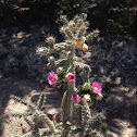 Tree Cholla cactus