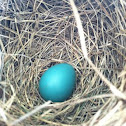 American Robin egg