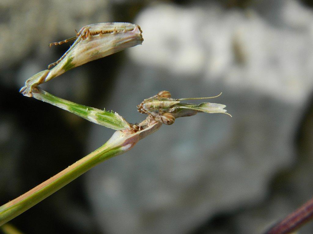 Female Empusa fasciata