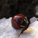 Giant Ladybeetle