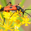 Two-spot longhorn beetle, Longicornio de dos manchas