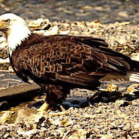 Todays Eagle's down near The Marina... by Steve Fisher - Animals Birds