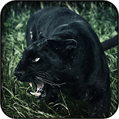 Black Leopard Wallpapers