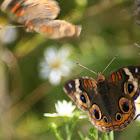 Common Buckeye - courtship