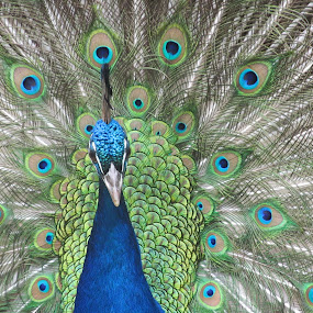 Peacock in bloom by Robin Nanni - Animals Birds ( colorful, mood factory, vibrant, happiness, January, moods, emotions, inspiration )