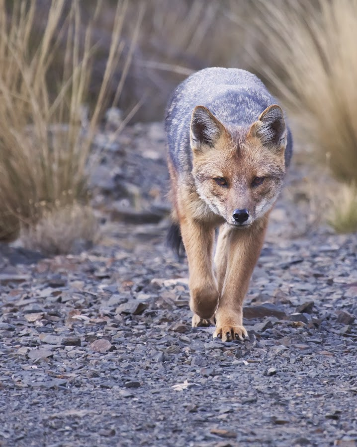 by Edith Polverini - Animals Other Mammals ( argentina, looking, walking, fox, front )