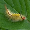 White-Marked Tussock  larvae
