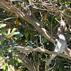 Australasian Figbird (female)