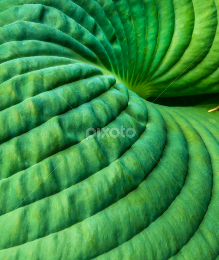 Close up of an amazing leaf by Kathy Dee - Nature Up Close Other Natural Objects ( plant, macro, nature, canada, green, victoria, leaf, botanical, close up, garden, british columbia,  )