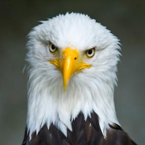 Bald Eagle by Alex Crisan - Animals Birds ( eagle, bald eagle, bald, eagles, birds, american bald eagle )