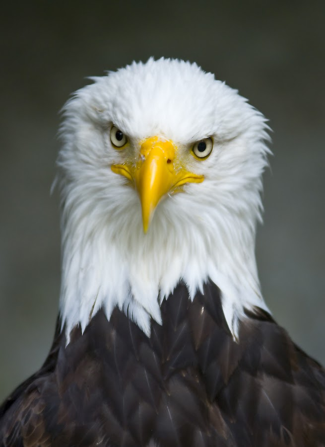 Bald Eagle by Alex Crisan - Animals Birds ( eagle, bald eagle, bald, eagles, birds, american bald eagle )