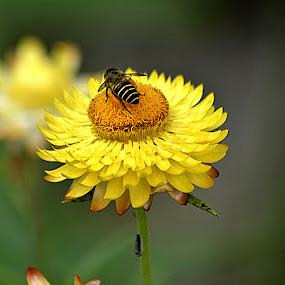 Sucking Honey by Azman Kamaruddin - Flowers Flowers in the Wild ( 2014, fraser hill, malaysia )