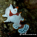 Warty Frogfish, Clown Frogfish