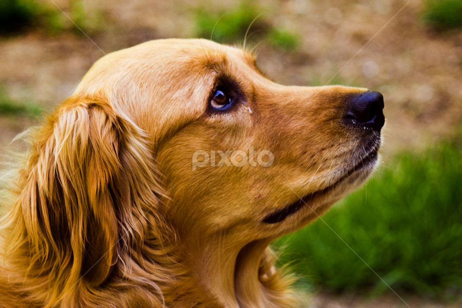 Am I in Trouble? by Dave Skorupski - Animals - Dogs Portraits ( unhappy, canine, field, grass, sad, tear, frown, puppy, dog, cute, cry, golden retriever, , #GARYFONGPETS, #SHOWUSYOURPETS )