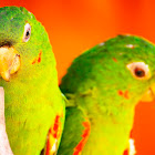 Red Speckled Conure, Cuban Conure