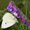 Flower spider and butterfly
