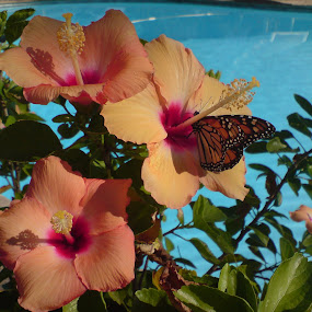 Monarch Butterfly on a Hibiscus rosa-sinensis 'Mandarin Wind' by Colin Toone - Instagram & Mobile Other (  )
