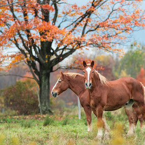 Twins by Michael Wolfe - Animals Horses ( countryside, farm animals, pasture, fall colors, horses, work horses,  )