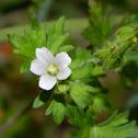 Carolina Geranium