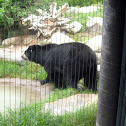 Black Bear (?)