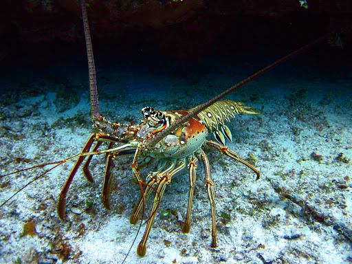 Lobsters in a Cozumel lagoon can be an undersea discovery one day, and a tasty dinner the next.