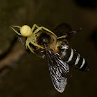 Yellow Spider feeding on Bee