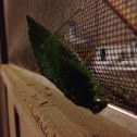 Leaf bug