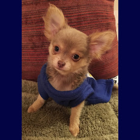 Rio in his Snuggie!  by Paige Elizabeth - Animals - Dogs Portraits ( rio snuggie puppy little blue lavender chocolate blue chihuahua baby love mine modeling model )