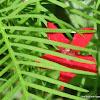 (cypress vine, cypressvine morning glory, cardinal creeper, cardinal vine, star glory or hummingbird vine