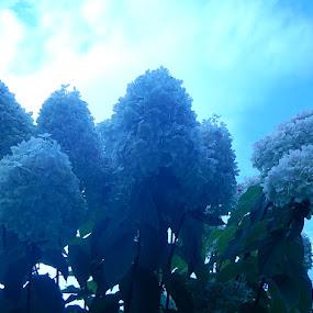Limelight Hydrangeas by Patrick Jones - Flowers Flower Gardens ( bush, hydrangea, limelight )