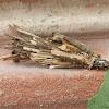 Bagworm moth
