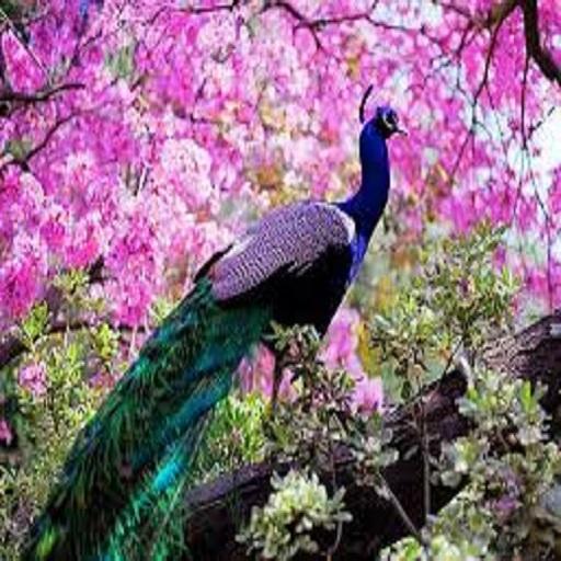 Cute Peacock Wallpapers