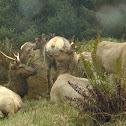 Elk / Wapiti