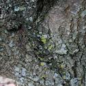 Lemon Lichen