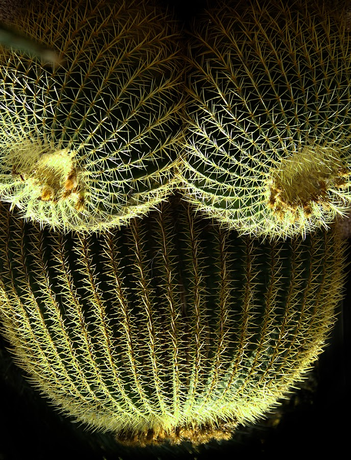 The pregnancy by Arti Fakts - Nature Up Close Other plants ( breast, spike, three, pregnant, artifakts, belly, cactus,  )