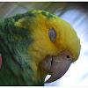 Yellow-headed Amazon