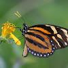 Tiger Mimic Queen