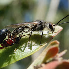 Black Flower Wasp - male & female