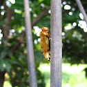 Parasited pupa