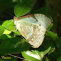 Epistrophus white morpho