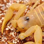 Desert Hairy Scorpion