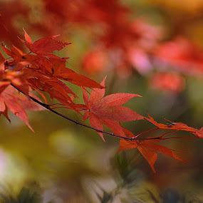 Autumn Leaves by Lisa Silva - Nature Up Close Leaves & Grasses ( red, nature, tree, autumn, japanese, leaves, foilage, maple, , fall, color, colorful )
